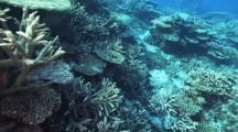 Abundant Hard Corals, School Of Blue-Green Chromis Damsel Fish Feeding