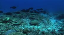Surgeon Fish, Chromis, Hard Corals
