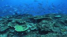Fusiliers, Blue Green Chromis, Hard Corals