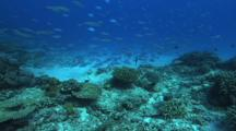 Blue Green Chromis Feeding, Hard Corals, Fusiliers