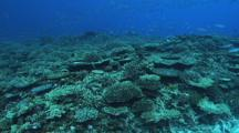 School Of Blue Green Chromis Feeding, Hard Corals, Fusiliers