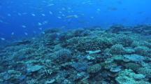 School Of Blue Green Chromis Feeding, Hard Corals, Fusiliers