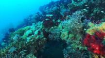 Soft Corals, Anthias, Fusiliers, Abundant Sea Life At Yongala Wreck