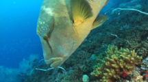Napoleon Wrasse Swims Around Reef At Yongala Wreck