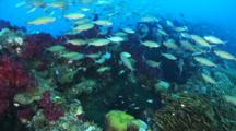 Abundant Fusiliers, Colorful Soft Corals, Sessile Animals At Yongala Wreck