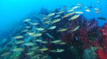 Abundant Fusiliers, Anthias, Colorful Soft Corals, Sessile Animals At Yongala Wreck
