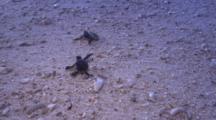 Green Turtles (Chelonia Mydas) Hatching At Sunset