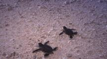 Green Turtles (Chelonia Mydas) Hatching At Sunset