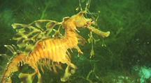 Leafy Sea Dragon Sways In Surge