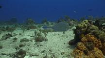 Cow Fish Feeds On Sponge And Swims Away Over Reef