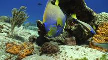 Queen Angel Swims Towards Camera Over Colourful Coral Reef