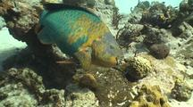 Camera Approaches Rainbow Parrotfish Feeding On Reef
