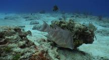 Camera Approaches Hogfish Feeding On Reef