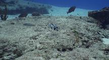 Trunk Fish Feeds On Sand Bottom