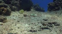Yellow Stingray Travels Over Sand Bottom