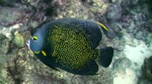 French Angel Fish Close Up Swims Past The Camera