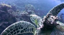Turtle Swims With Conch Shell As Passenger (Part 2 )