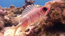 Squirrel Fish Guards Its Nest 5