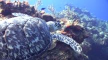 Turtle Finishes Eating , Rises From Coral