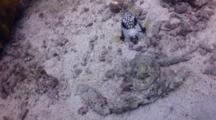 Trunkfish Looks At Camera