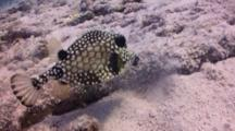 Busy Trunkfish Blows Sand Feeding On Rocky Reef