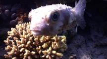 Pregnant Porcupine Fish Shows His Face Near Coral
