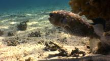 Pregnant Porcupine Fish In Sunlight