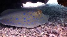 Blue Spotted Stingray Rests Under Coral Outcrop, Closeup
