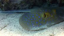 Blue Spotted Stingray Looks At The Camera