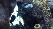 Spotted Trunk Fish Resting