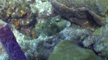 Spotted Trunk Fish Resting , Wide