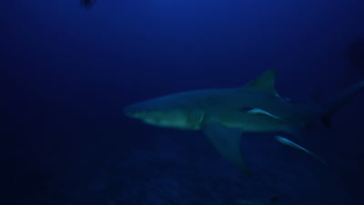 Lemon shark with remoras passes photographer