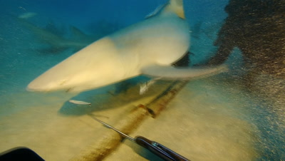 Lemon sharks swarm around diver,pushes nose into his head