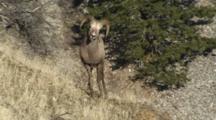 Bighorn Sheep Rams Chasing Ewes And Mating