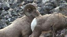 Bighorn Sheep Ram Breeding A Ewe