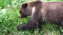 Brown Bear Feeding On Dandelions In Spring