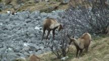 Chamois Group Marking Territory