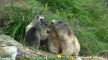Marmot Family Group Including A Baby Greeting Each Other
