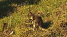 Red-Necked Wallaby Grooming Then Exits