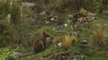 Red-Necked Wallaby Feeding Among Rocks And Scrub