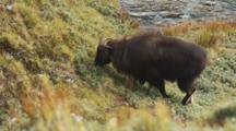 Himalayan Tahr Bull Feeding On Tussock And Rock Slope