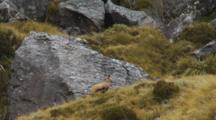 Chamois Buck Among Large Rocks