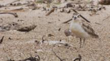 Endangered New Zealand Dotterel Grooming Then Siting