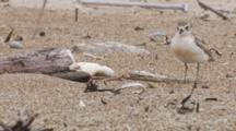 Endangered New Zealand Dotterel Grooming Then Wing Stretch
