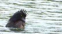 Black Teal New Zealand Scaup Lake Rotoiti Male Preening Then Dives