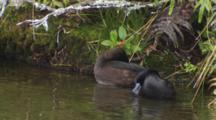 Black Teal New Zealand Scaup Lake Rotoiti Male And Female Preening