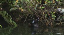 Black Teal New Zealand Scaup Lake Rotoiti Male And Female Exits