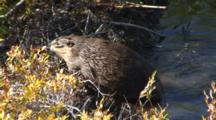 Beaver Swimming To And Crossing Dam