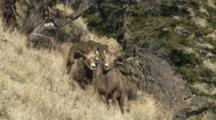 Bighorn Sheep Mating Activity Ram Attempting To Defend Ewe
