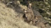 Bighorn Sheep Mating Activity Young Rams Mounting Ewe Dominant Ram Looks On